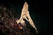 Wax Ascidian