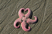 Starfish near Homer, Alaska During the Kachemak Bay Shorebird Festival