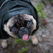 Boo the Pug standing in a rain coat.