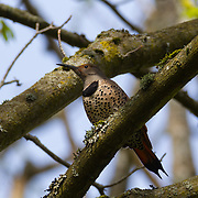 A female red-shafted northern flicker (Colaptes auratus) rests in a tree in the wetlands of the Washington Park Arboretum, Seattle, Washington. The red-shafted northern flicker is also known as the western flicker. Flickers are a type of woodpecker. Flickers feed on ants and other insects and are believed to consume more ants than any other North American bird.
