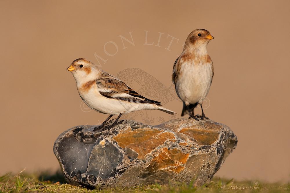 Snow Bunting (Plectrophenax nivalis) adults in winter plumage, Norfolk, UK
