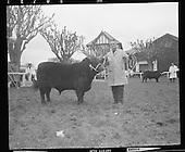 1971 16/02 Bull show, RDS. Dublin Ireland.