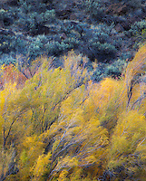 Fall color in the desert of New Mexico along the banks of the Rio Grande.