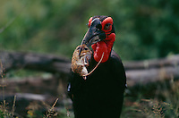 A southern ground hornbill (Bucorvus cafer) that caught a mouse.