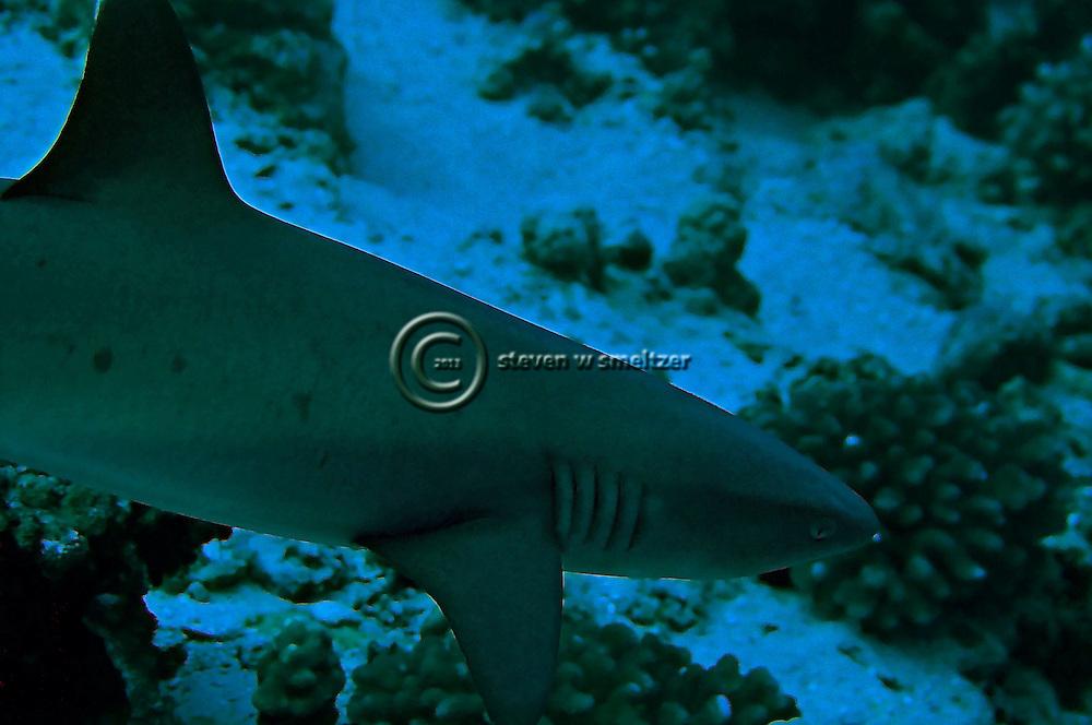 Whitetip reef shark triaeonodon obesus maui hawaii for Molokai fish and dive