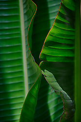 detail of a banana leaf