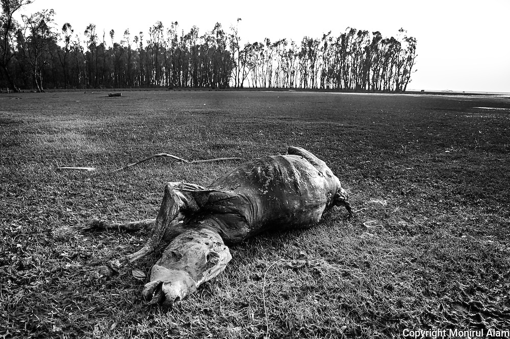 Barguna Patharghata. Bangladesh (2007). A dead cow lie near a river. Cyclone Sidr reached a top speed of almost 240km per hour. The coastal area was most affected. The country`s southern costal areas and southwest was devastated. Thousands were killed. Almost 3 million people were affected. Bangladesh ranks first as the nation most vulnerable to the impacts of climate change. Scientists expect rising sea levels to submerge 17 percent of Bangladesh's land and displace 18 million people in the next 40 years.
