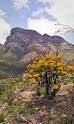 Acacia in bloom, Stirling Ranges, Western Australia