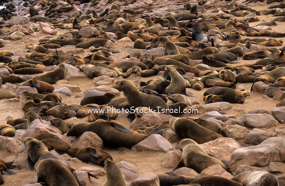Cape Cross seal colony. The Cape fur seal (Arctocephalus pusillus pusillus) is the largest species of fur seal in the world and breeds only on the west coast of southern Africa. Cape Cross is thought to comprise 30% of the Namibian population, with a breeding colony of between two hundred and two hundred and fifty thousand individuals. The total Namibian population stood in 2001 at between seven and eight hundred thousand individuals. However as Cape Cross is both a breeding and a resting colony, attracting seals from as far away as South Africa, it is difficult to make an accurate population estimate.