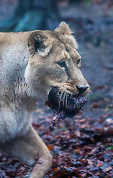 Edinburgh Zoo's very own 'king of the beasts' - Asiatic lion juvenile Jayendra - celebrated his 2nd birthday in style, but resident female Kamlesh steals his cake..©Michael Schofield.