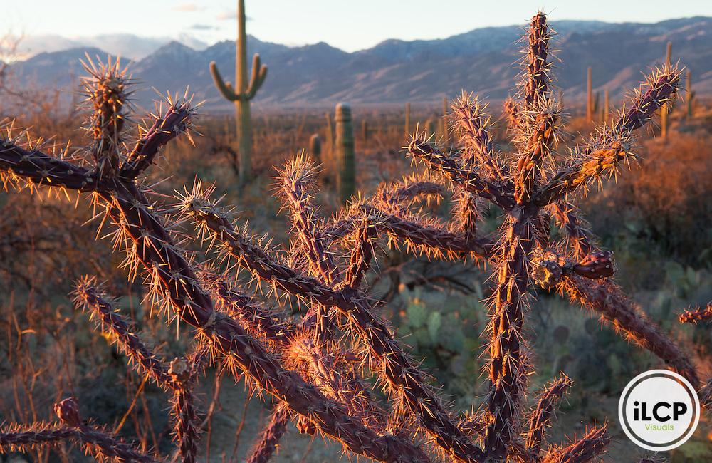 Cholla cactus in Saguaro National Park, Tucson, Arizona.