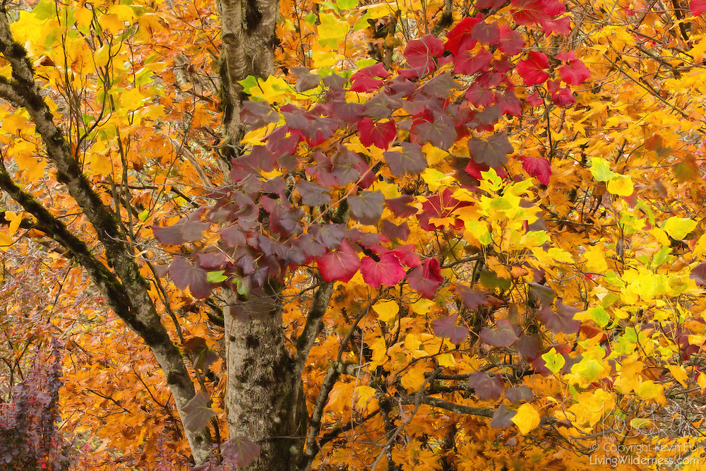 The full range of fall colors—red, yellow, gold, violet and even green—are visible in the leaves of these intertwined trees along the Bellevue Botanical Garden in Bellevue, Washington.
