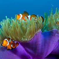 3 False Clown Anemonefish, Amphiprion ocellaris, in a purple anemone, Pulau Tenggol, Malaysia.