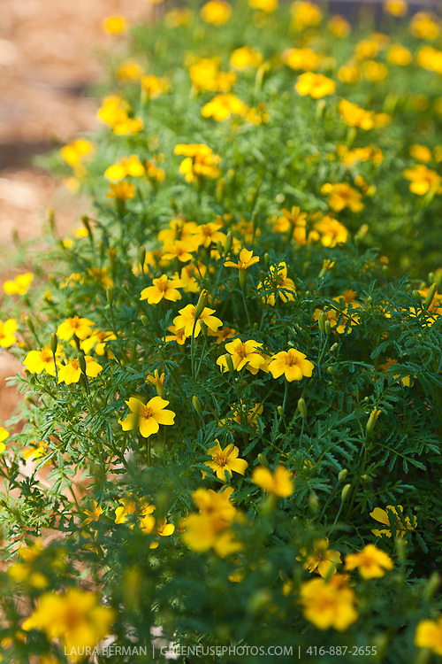The edible flowers of Lemon Gem Signet marigold (Tagetes tenuifolia 'Lemon Gem')