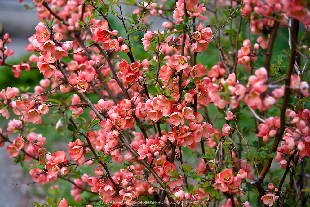 """The flowering quince (Chaenomeles japonica). The fruit are very hard and astringent and very unpleasant to eat raw, though they do soften and become less astringent after frost (when they are said to be """"bletted""""). They are, however, suitable for making liqueurs, as well as marmalade and preserves, as they contain more pectin than apples and true quinces. The fruit also contain more vitamin C than lemons (up to 150 mg/100 g)."""