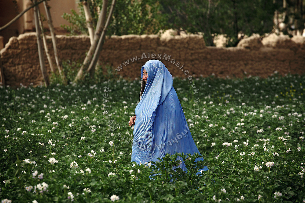 An Afghan woman is walking through a field of blossoming flowers in Bamiyan, a small Afghan town mostly populated by Hazaras. The Buddhas of Bamiyan were two 6th century monumental statues of standing Buddhas carved into the side of a cliff in the Bamiyan valley in the Hazarajat region of central Afghanistan, situated 230 km northwest of Kabul at an altitude of 2500 meters. The statues represented the classic blended style of Gandhara art. The main bodies were hewn directly from the sandstone cliffs, but details were modeled in mud mixed with straw, coated with stucco. Amid widespread international condemnation, the smaller statues (55 and 39 meters respectively) were intentionally dynamited and destroyed in 2001 by the Taliban because they believed them to be un-Islamic idols. Once a stopping point along the Silk Road between China and the Middle East, researchers think Bamiyan was the site of monasteries housing as many as 5,000 monks during its peak as a Buddhist centre in the 6th and 7th centuries. It is now a UNESCO Heritage Site since 2003. Archaeologists from various countries across the world have been engaged in preservation, general maintenance around the site and renovation. Professor Tarzi, a notable An Afghan-born archaeologist from France, and a teacher in Strasbourg University, has been searching for a legendary 300m Sleeping Buddha statue in various sites between the original standing ones, as documented in the old account of a renowned Chinese scholar, Xuanzang, visiting the area in the 7th century. Professor Tarzi worked on projects to restore the other Bamiyan Buddhas in the late 1970s and has spent most of his career researching the existence of the missing giant Buddha in the valley.