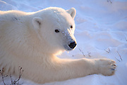 Churchill, Manitoba. Canada. Polar Bear, Fox, and Wolf habitat.