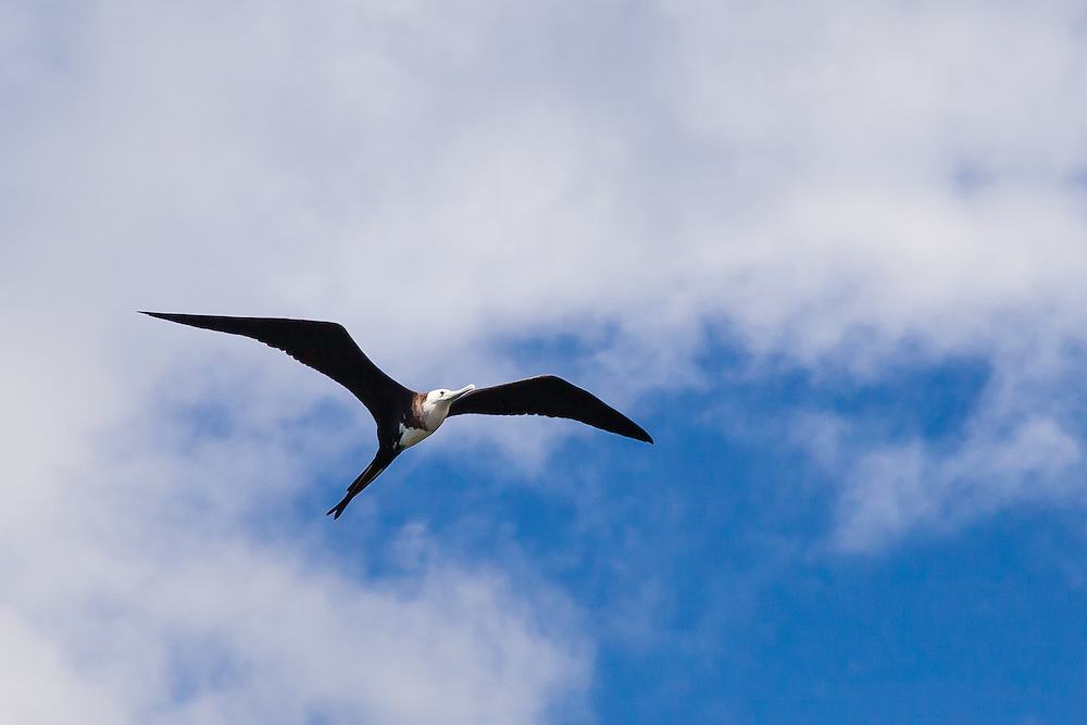 The female Magnificent Frigatebird (Fregata magnificens) soars high above the ocean on thermals. The female lacks the large red gular sac, has a white underbelly, and is lighter in color, not to mention bigger.