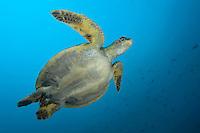 Green Sea Turtle from Below