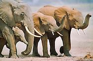 African elephant family, Loxodonta africana, Amboseli National Park, Kenya