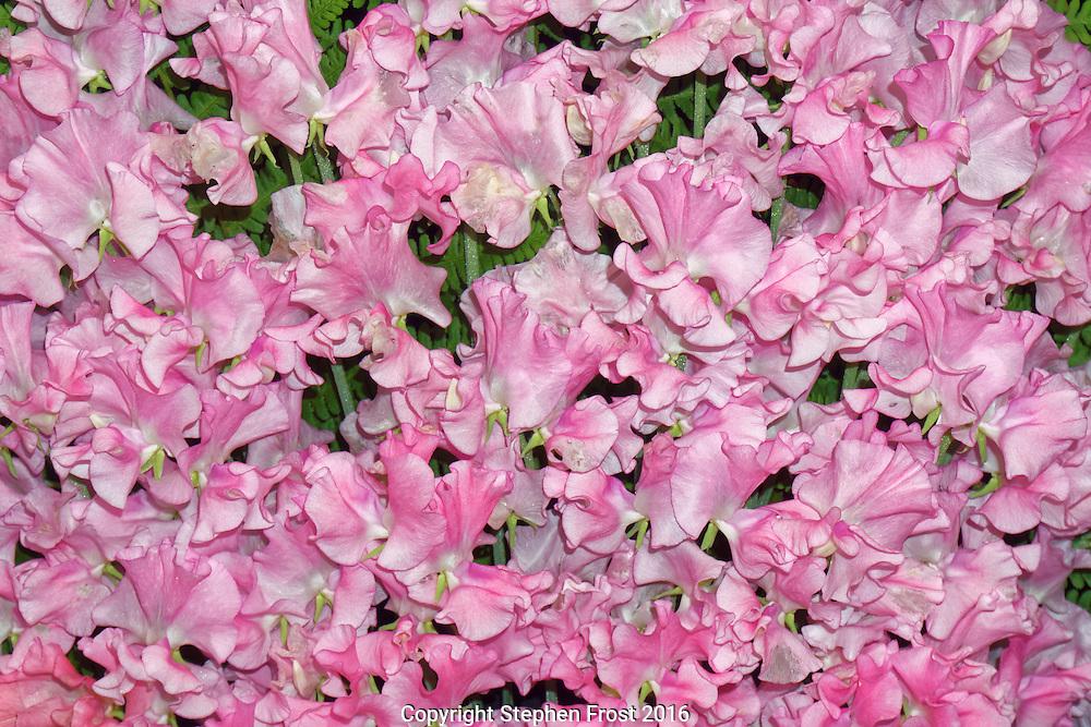 Pink Sweet Peas: variety Leominster Boy