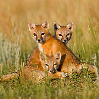 Swift Fox Babies.<br /> <br /> Canvas gallery wrapped print is 18x24&quot;.