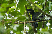 Long-wattled umbrellabird (Cephalopterus penduliger)<br /> Western slopes of Andes<br /> Andes<br /> ECUADOR, South America<br /> ENDEMIC<br /> Habitat &amp; Range: endemic to the western slopes of Choc&oacute; in Colombia and Ecuador
