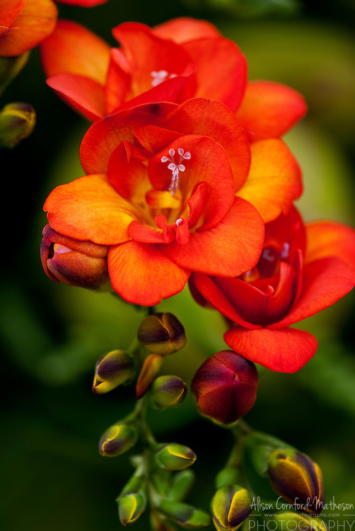 Bright Orange Freesia Flower