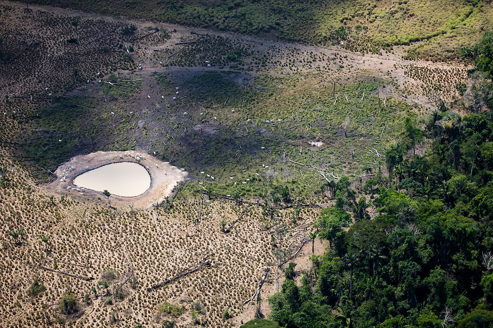 Cattle graze on cleared Amazon rainforest land owned by Luis Pereira Martins in the Altamira municipality of Para State, Brazil, August 13 2008..Daniel Beltra/Greenpeace