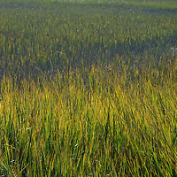 Marsh grass in sunlight in South Carolina