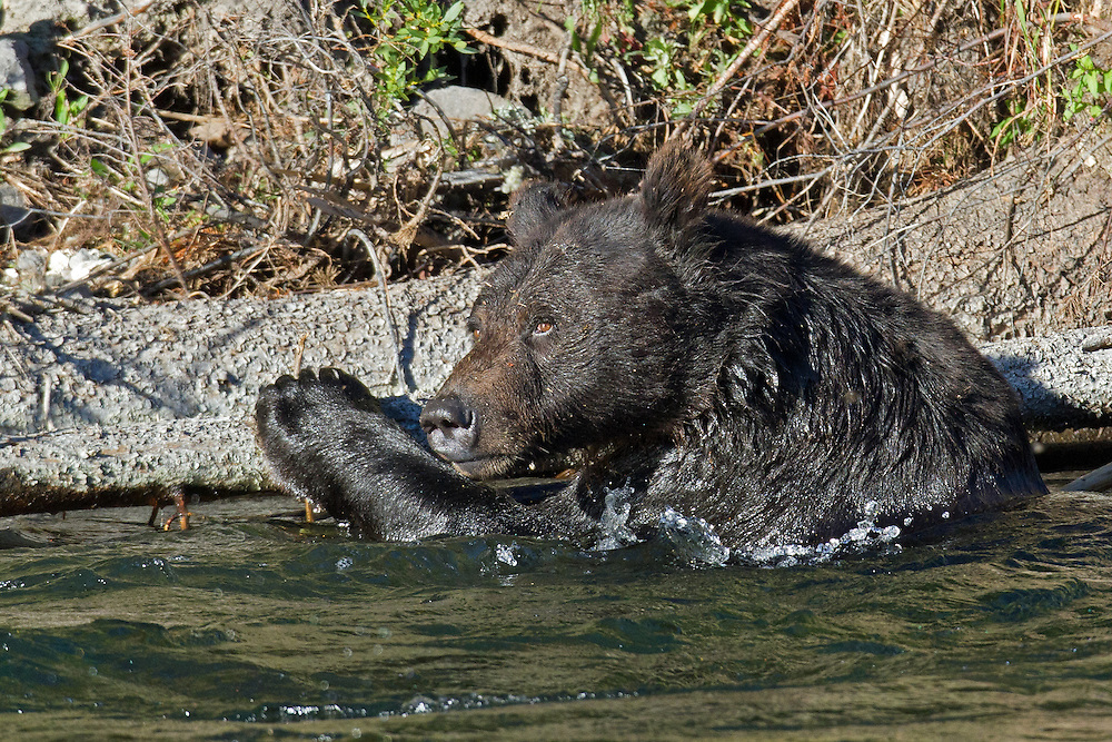 After spending about 15 minutes in the water, the grizzly made his way back to shore for a much needed nap.