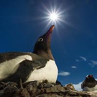 Antarctica, Livingstone Island, Flash illuminated portrait of Gentoo Penguin (Pygoscelis papua) on nest in South Shetland Islands