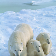 Polar bear (Ursus maritimus) mother with two cubs waiting for the ice to freeze on Hudson Bay. Canada