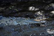 American crocodile (Crocodylus acutus) lying on a muddy river bank, Tempisque River, Costa Rica.