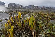 """AUYANTEPUY, VENEZUELA. ''Libertador'', Cima del Tepuy. El Auyantepuy es el mayor de los tepuis del Parque Nacional Canaima. En sus 700 kms2 alberga el salto angel o conocido por lengua indígena Pemon como """"Kerepacupai Vena; es la caída de agua más grande del mundo con sus 979 metros de altura. (Ramon lepage /Orinoquiaphoto/LatinContent/Getty Images)"""