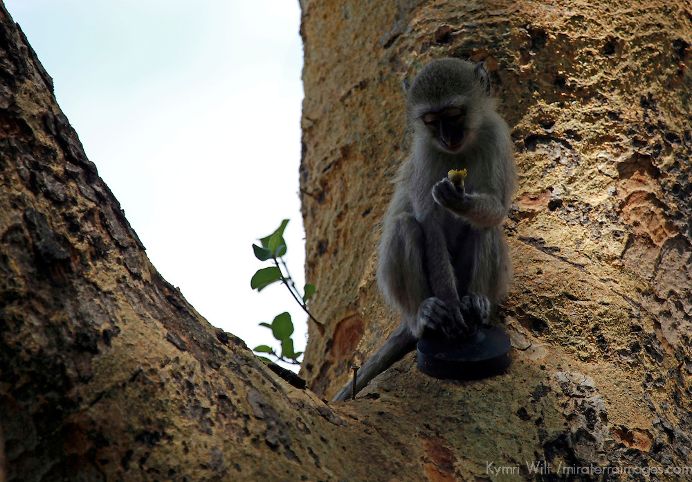 Africa, Botswana, Okavango Delta. Vervet monkey.