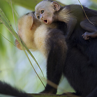 Brown Capuchin Monkey (Cebus paella), adult and juvenile, Osa Peninsula, Costa Rica