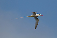 Red-billed Tropicbird (Phaethon aethereus) flying<br /> ECUADOR: Galapagos Islands<br /> Genovesa Island<br /> 23-Aug-2010<br /> J.C. Abbott &amp; K.K. Abbott