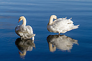 Two Mute Swans (Cygnus olor) preening themselves near the shore of Lost Lagoon in Stanley Park, Vancouver, British Columbia, Canada