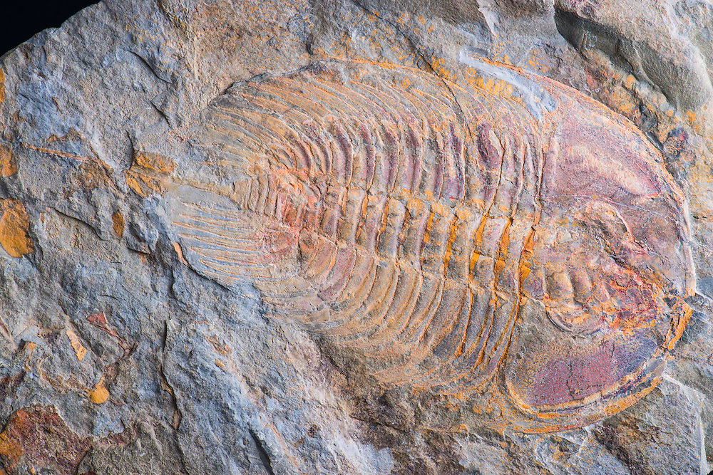 Olenellus thompsoni (total length: 202mm) is a very rare trilobite from a now-closed site of the Lower Cambrian Kinzers Formation in Lancaster, Pennsylvania. This particular specimen is from the York locality, which is now a recreation park.