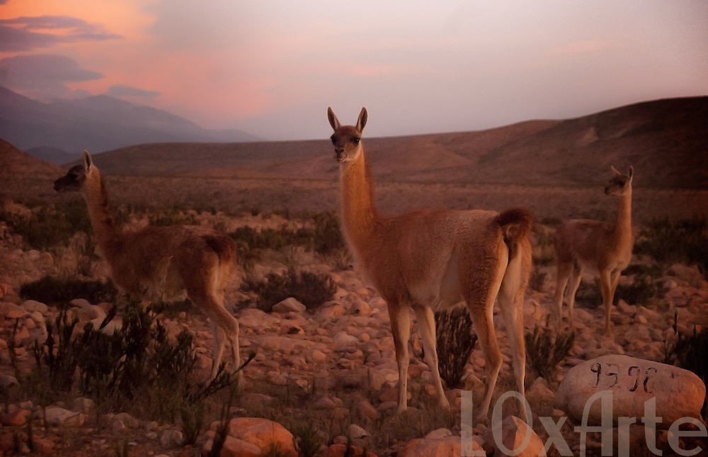 A group Guanaco looking at camera at dusk on the Arica-Bolivia highway near Lauca National Park.
