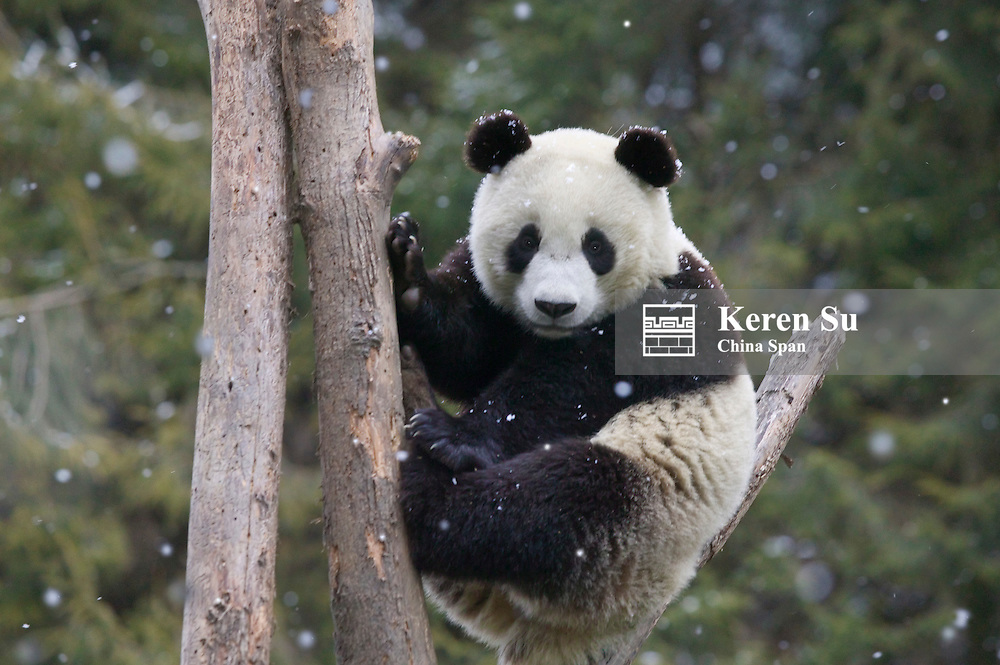 Giant panda climbing the tree in the forest in snow, Wolong Panda Reserve, Sichuan Province, China