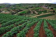Potato field in the Mantaro Valley in Junin, Peru