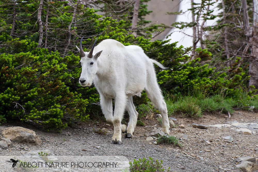 Mountain Goat (Oreamnos americanus)<br /> MONTANA: Glacier Co.<br /> Glacier National Park<br /> Logan Pass along Going to the Sun Road<br /> 24-July-2012<br /> J.C. Abbott &amp; K.K. Abbott