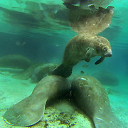 Manatees gather at the Crystal River National Wildlife Refuge. The refuge is one of the only places where people are allowed to interact with manatees, but there are major concerns that this may be harmful to the mammals which seek shelter in the constant 72 degree spring waters during winter months. This underwater photograph was taken in the presence of Fish & Wildlife monitors, please do not attempt to approach any wild animal.