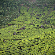 a truck going through the tea plantation near Munnar, Kerala