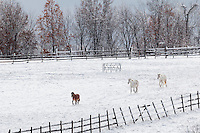 Blooming Grove, New York - Horses graze in a farm field after a snowstorm on Nov. 20, 2016.