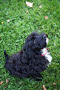 Local dogs in London This is Pedro the cockerpoo puppy (cocker spaniel crossed with a miniature poodle)