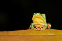 Pristimantis viridis