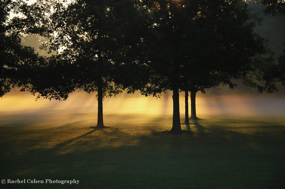 &quot;Foggy Rays of Morning&quot;<br /> <br /> Wonderful trees in silhouette with golden sunshine through low lying fog!!